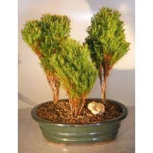 Bonsai Boys Northern White Cedar   Three Tree Forest Group thuja